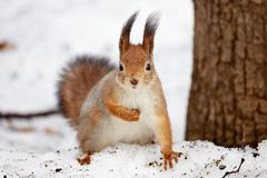 Squirrel in the the park in winter royalty free stock images