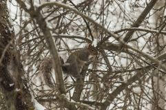 A squirrel pauses in a snowy tree royalty free stock image