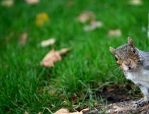 Squirrel peaking Stock Photo