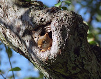Squirrel Peaking Out Royalty Free Stock Photo