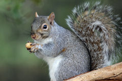 Squirrel with a Peanut. A cute eastern gray squirrel (Sciurus carolinesis) in Fall sitting on a branch holding a nut in its paws Royalty Free Stock Image