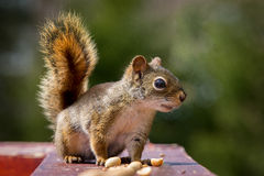 Squirrel and peanut Stock Images
