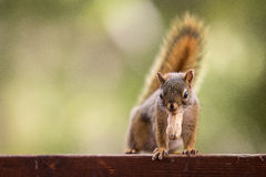 A squirrel and a peanut Royalty Free Stock Photos