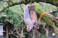 Squirrel on a peanut feeder. Royalty Free Stock Photos
