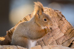 Squirrel with peanut Royalty Free Stock Photos