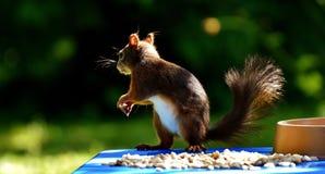 Squirrel, Peanuts, Chucks, Feeding Royalty Free Stock Image
