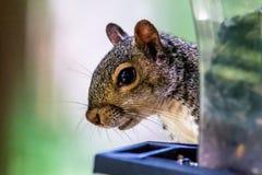 Squirrel peeking around corner Stock Photo