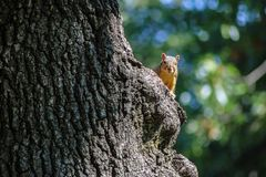 Squirrel peeking around the trunk of a big tree looking at camera with green and blue bokeh behind stock image