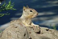 Squirrel. Peeking from behind a rock Royalty Free Stock Photo