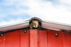 Squirrel Peeking out of Shed Building Royalty Free Stock Photo