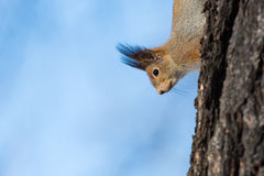 A squirrel peeks around the side of a tree Royalty Free Stock Image