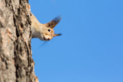 A squirrel peeks around the side of a tree Royalty Free Stock Photography