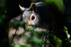 Squirrel Peering Through the Branches Royalty Free Stock Image