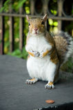 Squirrel with penny. Cute grey squirrel with one penny coin royalty free stock photography