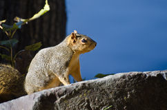 Squirrel Perched Attentively on a Rock Royalty Free Stock Photos