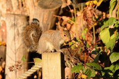Squirrel perched in Autumn foliage Royalty Free Stock Images