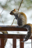 A squirrel perched on a deck railing. A grey and brown squirrel looking alert on a deck railing in winter Stock Photography