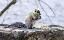 Squirrel perched on a rock eating yellow seeds from a pile, wild Royalty Free Stock Photo