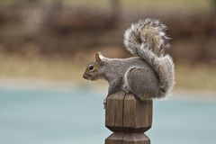 Squirrel perched on a wooden post facing left Stock Image
