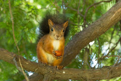Squirrel. The photo shows a squirrel with a nut. Squirrel sits and eats a nut royalty free stock image