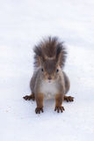 Squirrel. The photo shows a squirrel with a nut. Squirrel sits and eats a nut royalty free stock photography