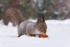 Squirrel. The photo shows a squirrel with a nut. Squirrel sits and eats a nut stock images