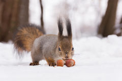 Squirrel. The photo shows a squirrel with a nut. Squirrel sits and eats a nut royalty free stock photo