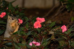 Squirrel Picking Flowers Royalty Free Stock Photography