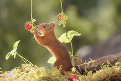 Squirrel Picking strawberries. Red squirrel is Picking strawberries Royalty Free Stock Photo