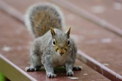 Squirrel at a picnic Royalty Free Stock Images