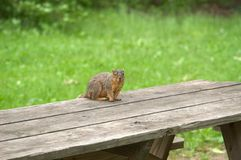 Squirrel on Picnic Table. Squirrel sitting on a picnic table, waiting for the picnic Royalty Free Stock Images