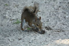 Squirrel. A picture of a gray squirrel royalty free stock image
