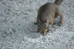 Squirrel. A picture of a gray squirrel Stock Photos