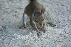 Squirrel. A picture of a gray squirrel Royalty Free Stock Photography