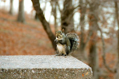 Squirrel. Picture is illustrating a squirrel eating a nut in one of the state parks in Oklahoma Royalty Free Stock Photo