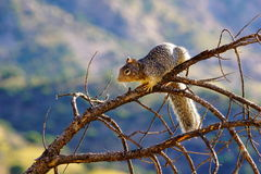 A squirrel. A picture of a squirrel in a tree Royalty Free Stock Image
