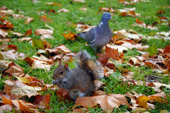 Squirrel and pigeon at park Royalty Free Stock Photography