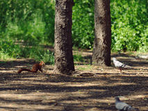 Squirrel and Pigeons Royalty Free Stock Photos