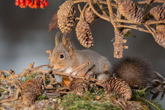 Squirrel with pine cones Royalty Free Stock Photos
