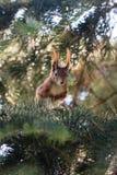 Squirrel in a pine Stock Photos