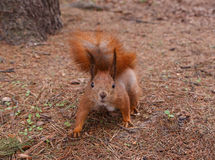 Squirrel at pine tree Royalty Free Stock Image