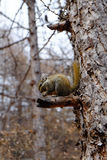 Squirrel on the pine tree Royalty Free Stock Photos