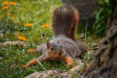 Squirrel Playing Royalty Free Stock Photography