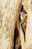 Squirrel Playing Hide-and-Seek Stock Photo