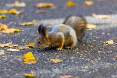 The squirrel playing in the park looking for food during the sunny autumn day royalty free stock photography