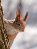 Squirrel plays hide and seek Royalty Free Stock Photos