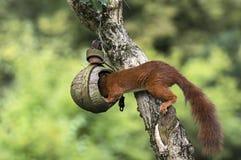 Squirrel plunders a birdfeeder. Red squirrel on a birdfeeder Stock Image