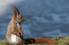 Squirrel. Poland.Squirrel in Lazienki Royal park Royalty Free Stock Photography