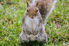 Squirrel portairt. 2011 this was England, London Royalty Free Stock Photography