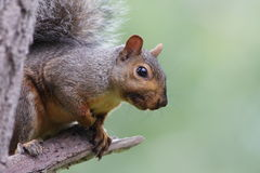 Squirrel portrait Royalty Free Stock Photography